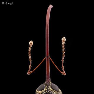 Chestnut weevil