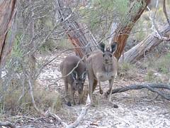 Macropus fuliginosus 1 (barryaceae) Tags: little desert national park vic victoria ausmammal macropus fuliginosus western grey kangaroo