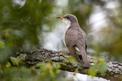 Yellow-billed Cuckoo (PeterBrannon) Tags: bird coccyzusamericanus florida fortdesoto migration nature tampa wildlife yellowbilledcuckoo alone breather solitude spring springmigration