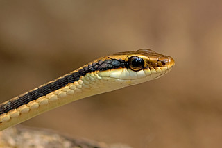 Dendrelaphis pictus - the Painted Bronzeback