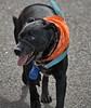 Wild Eyed Look (Scott 97006) Tags: dog look animal canine pet walk leash scarf