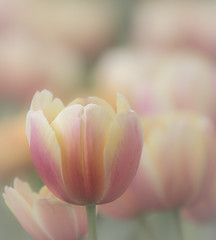 Tulips (Mark Chandler Photography) Tags: 7dmarkii flowers ga georgia marietta markchandler nature tulips bokeh canon city color colour fountain park photo photography square stock water tulip garden flower pastel