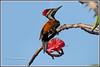 7801 - flame back woodpecker (chandrasekaran a 47 lakhs views Thanks to all) Tags: flamebackwoodpecker woodpecker birds nature india chennai canoneos6dmarkii tamronsp150600mmg2