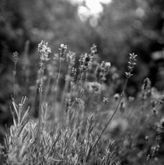 120718004 (salparadise666) Tags: mamiya c330 sekor 80mm fomapan 200160 caffenol cl 30min nils volkmer bw black white monochrome vintage tlr medium format square 6x6 film analogue camera floral home garden closeup