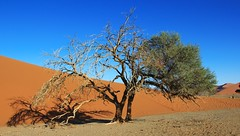Desert Trees at Sossusvlei (13) (Richard Collier - Wildlife and Travel Photography) Tags: desert landscape namibia trees southernafrica sanddunes sossusvlei