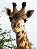 Giraffe (meeko_) Tags: giraffe animals kilimanjaro safaris kilimanjarosafaris attraction africa disneys animal kingdom disneysanimalkingdom themepark walt disney world waltdisneyworld florida