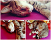 Wish I could be this lazy (Bloopoop) Tags: cat lazy sleepy fluffy cute soft pet animal photo amateur collage