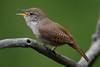 House Wren_53F7644 (~ Michaela Sagatova ~) Tags: dundasvalley birdphotography canonphotography housewren michaelasagatova