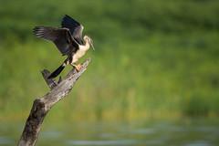 African Darter (Snake Bird) (Mujtaba Hussain Shah) Tags: snake bird african darter kenya africa birds east sunbathing lakebaringo
