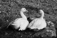 Dialoguing Ducks (Ronny Darko) Tags: ducks zwiegespraech wildlife animals tier enten zoo tierpark dialog dialogue black white schwarz weiss couple
