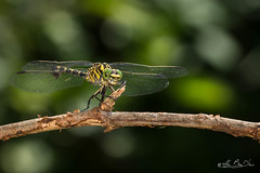 A fond les manettes....! - At bottom the joysticks ....! (minelflojor) Tags: libellules yeuxailespattespoilsinsectenaturefloubokekmacroboisbrancheécorcequeuezébrurelumièreéclairagetamronsp90mmf28dimacro11vcusd dragonflies feet hair insect nature blur bokek macro wood bark tail stripes light zebra