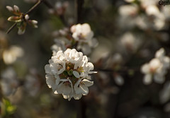 Flowers-on-a-branch (edgardwahrhaft) Tags: flowers branch tree blossom apple fruit plant nature