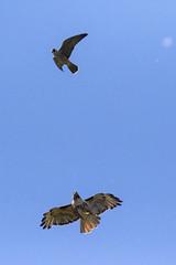 SandyRiverDelta_20180717_9106-1 PeregrineFalcon (Martine Yen) Tags: sandyriverdelta peregrinefalcon redtailedhawk