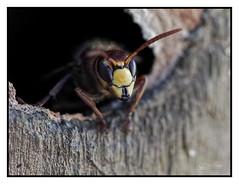 Frelon (Olympus Passion eric leroy) Tags: macro olympus zuiko proxi insecte 60mm 40150mm pro 60 40150