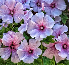 Malva's in the sunlight!🌞 (LeanneHall3 :-)) Tags: pink white malvas malva flowers petals flowersarefabulous flowerarebeautiful flowerflowerflower flowerscolors macro macrophotography macroflowerlovers macrounlimited closeupphotography closeup canon 1300d