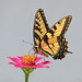 tiger swallowtail on pink zinnia