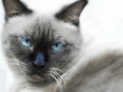 Mademoiselle Minu (Ani Carrington) Tags: siamese siamesecat eyes blueeyes blue look love pet sweet cat