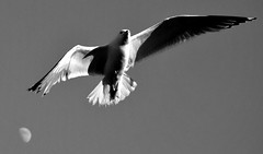A gaivota e a lúa (carlosdeteis.foto) Tags: carlosdeteis galiza galicia