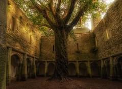Yew Tree growing in an old Irish Monastery. (arthuroleary) Tags: sonya6500 sony tree monastery ireland travel irish adventure exploring photo vacation sonyalpha