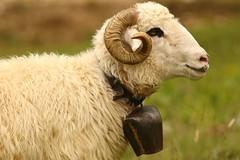 Musical Ewe (Derbyshire Harrier) Tags: ewe bell sheep 2018 romania transylvania naturetrek june nationalparkofpiatracraiului rural farming barsavalley