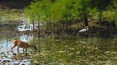 Deer with Egret (Suzanham) Tags: water trees animal mammal bird egret whitetaileddeer wading wadingbird nature summer waterscape landscape canonpowershotsx60hs mississippi noxubeewildliferefuge wildlife deer