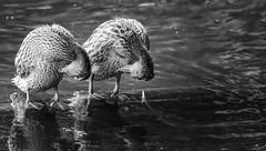 Gimnasia sincrónica (Renate Bomm) Tags: 7dwf bw flickrfriday gemelos natur renatebomm schwarzweis sonyilce6000 twins zwillinge