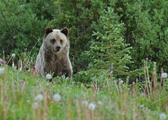 Grizzly cub...#10 (Guy Lichter Photography - 4M views Thank you) Tags: beargrizzly canon 5d3 canada alberta kananaskis wildlife animals mammals bears cub