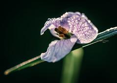 We all need somebody to lean on (Ingeborg Ruyken) Tags: ochtend morning spring empel cuckooflower 500pxs empelsedijk instagram natuurfotografie pinksterbloem macro flickr april