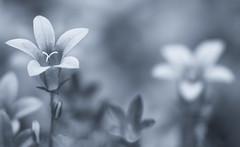 Campanula Reverie (AnyMotion) Tags: dalmatianbellflower dalmatinerpolsterglockenblume campanulaportenschlagiana bokeh 2018 blossom blüte plants pflanzen garden garten anymotion nature natur blumen floral flowers frankfurt bw blackwhite sw monochrome toning blue blautönung 7d2 canoneos7dmarkii