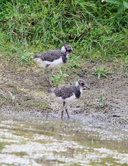 Bleep and Booster out two lapwing chicks
