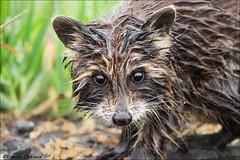 Wet Baby Raccoon (Daniel Cadieux) Tags: raccoon baby young pup wet rain rainy mammal ottawa
