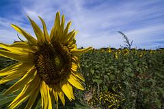 Van Gogh's greatest inspiration ... Explored 01/07/18 (Marco_964) Tags: girasole sunflowers pentax pentaxk50 landascape panorama paesaggio pentaxiani wide reflex giallo yellow fiore flower