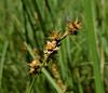 Carex echinata (John Scholze) Tags: carex echinata wisconsin wetland sedge