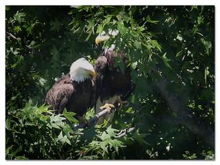 Bald Eagles (adults)