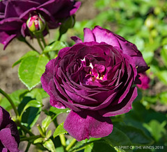 The Twilight Zone (jimgspokane) Tags: roses manitopark duncangarden rosehill flowers spokanewashingtonstate today´sbest wonderworld