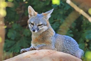 Gray Fox Vixen