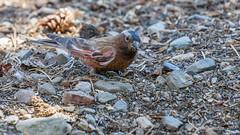 Gray-crowned Rosy-Finch (Bob Gunderson) Tags: birds california finches finchesgrosbeaks graycrownedrosyfinch leucostictetephrocotis monocounty northerncalifornia sierras virginialakesresort