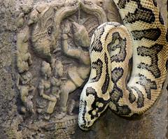 The Dancer and The Snake (Jim Skovrider) Tags: afsvrmicronikkor105mmf28gifed adobephotoshoplightroom d800 danmark denmark macro micro nikon nikond800 nikonfx randersregnskov sb900 animal animalsincaptivity nikkor zoo