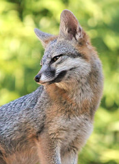 Pretty Lady (Monkeystyle3000) Tags: gray fox vixen desert wildlife las vegas nevada
