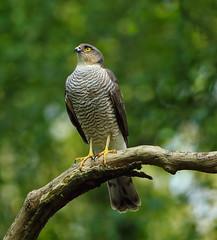 1S9A5201 (saundersfay) Tags: prey raptor sparrowhawk talons tree