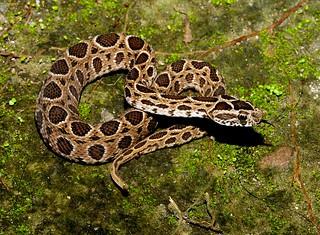 Eastern Russell's Viper (Daboia siamensis)_8969