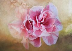 Never let the odds keep you from pursuing what you know in your heart you were meant to do.  (Satchel Paige) (boeckli) Tags: azalee flowers azalea flower flora fleur garden garten plants plant pflanzen textures texturen texture textur þórunnþorsteinsdóttir tóta photoborder macro closeup blume blumen blüten bloom blossom blossoms blooms pink rosa rx100m6 00319