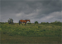 Horse (christophe plc) Tags: cheval campagne bretagne finistere landscape countryside le conquet canon 6dmark2 6dmarkii prairie horse animal nuage sky flickr