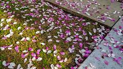 Blanket of Petals (Editor B) Tags: louisiana midcity neworleans petals
