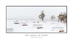 Bee boxes in snow (sugarbellaleah) Tags: snow snowing beeboxes beehive landscape rural shelter bees pollinate outback winter season tree white snowcovered boxes paddock gumtree australia oberon