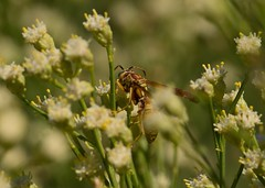 A Quiet Sup (harefoot1066) Tags: hymenoptera aculeata vespoidea vespidae polistinae paperwasp polistes polistesaurifer asteraceae baccharis baccharissarathroides broombaccharis greasewood desertbroom