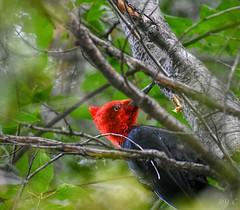 A Magellanic woodpecker at Lago Gutierrez in San Carlos de Bariloche, Argentina. (floridarailroading) Tags: woodpecker bird argentina bariloche nahuelhuapi rionegro woodpeckers nikon lagogutierrez sancarlosdebariloche magellanicwoodpecker southamerica latinamerica