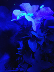 Flower blue (aaminzhanov) Tags: flower blue glow summer