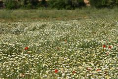 Margaritas y amapolas (esta_ahi) Tags: lasaulonera olèrdola penedès barcelona spain españa испания flor flora flores silvestres margaritas amapolas compositae asteraceae papaveraceae