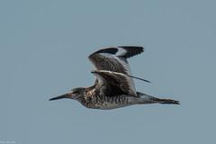 Willet flight (Fred Roe) Tags: nikond810 nikkorafs80400mmf4556ged nikonafsteleconvertertc14eii nature wildlife birds birding birdwatching birdwatcher birdinflight shorebird willet tringasemipalmata